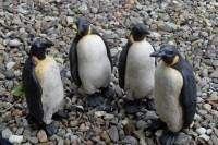 andreas-hinder-pinguine